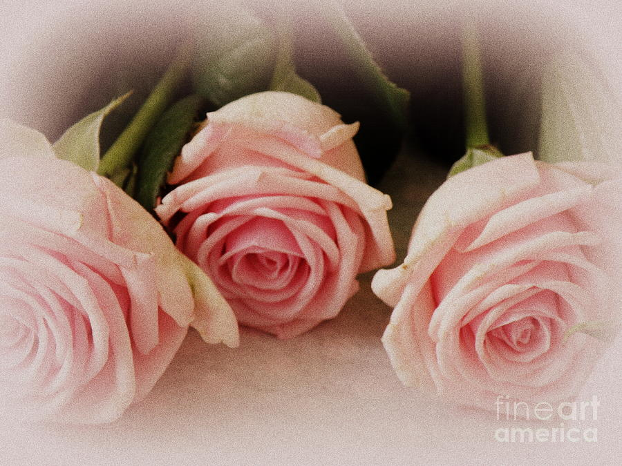 Three Pink Roses Photograph  - Three Pink Roses Fine Art Print