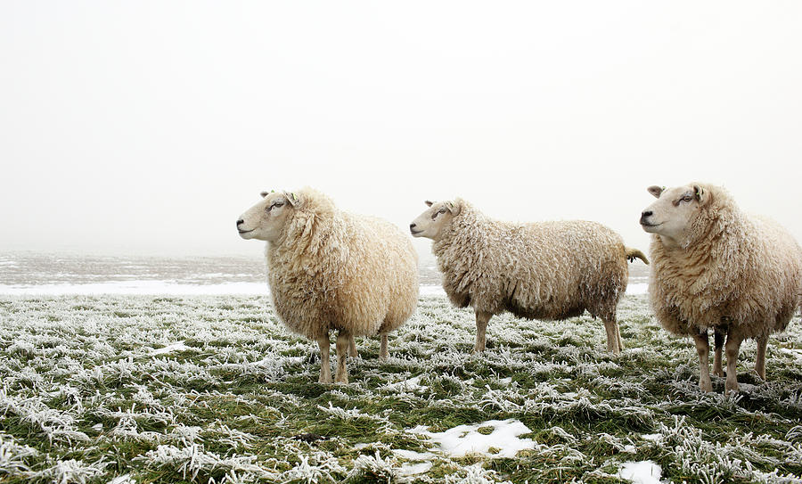 Three Sheep In Winter Photograph  - Three Sheep In Winter Fine Art Print