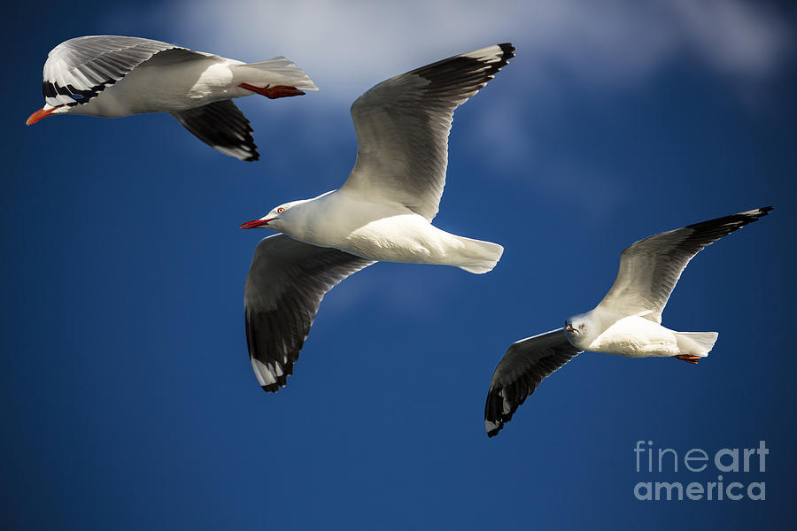 Three Silver Gulls Photograph