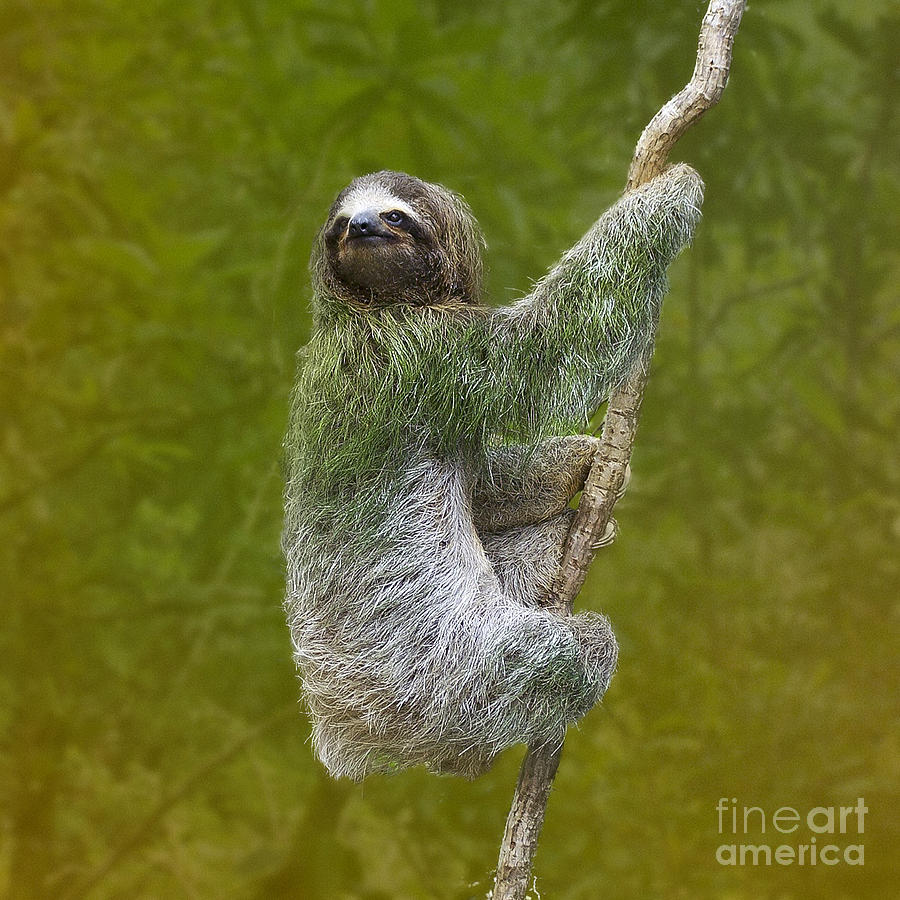Three-toed Sloth Climbing Photograph