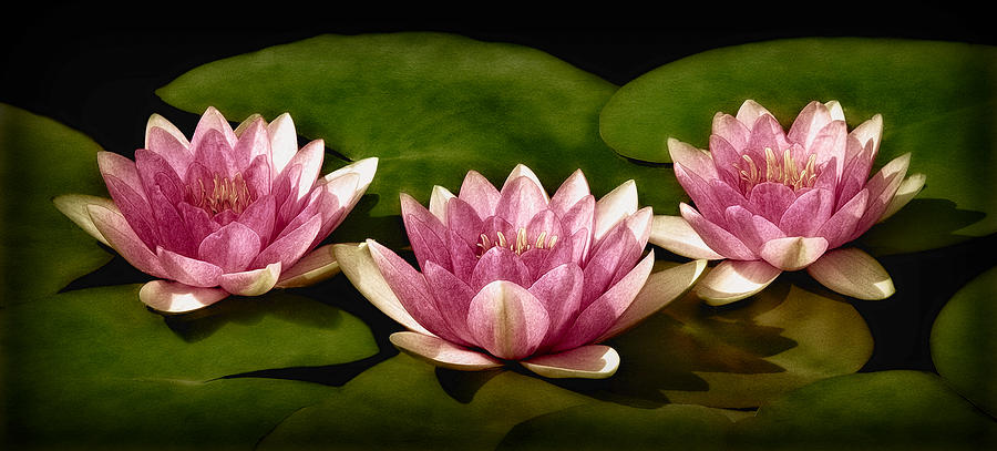 Three Water Lilies Photograph  - Three Water Lilies Fine Art Print