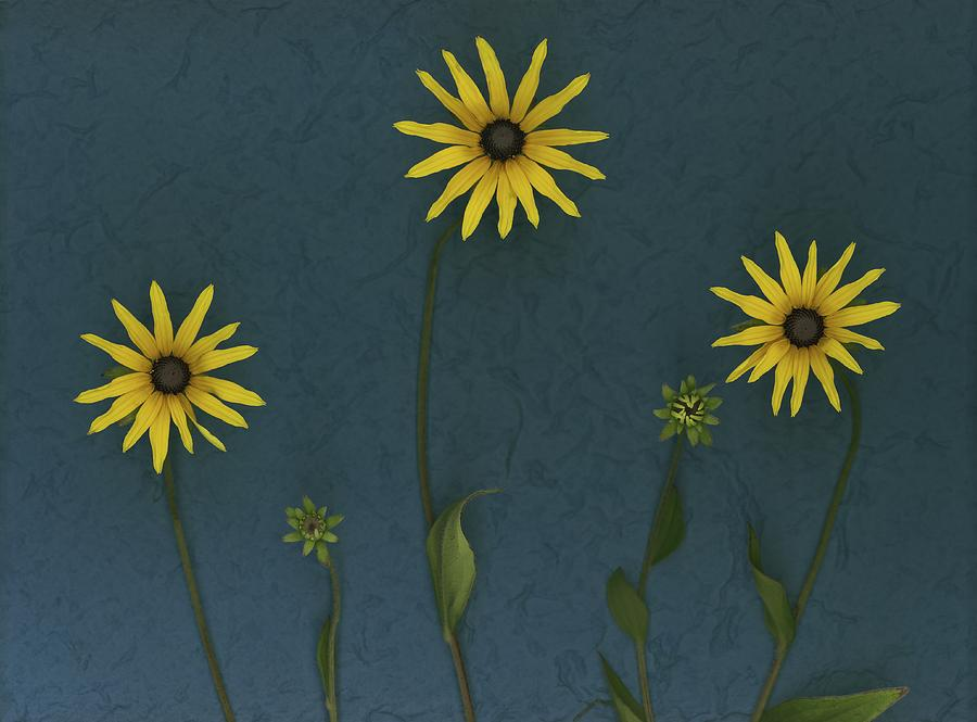 Three Yellow Flowers Photograph  - Three Yellow Flowers Fine Art Print