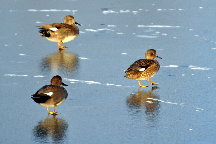 Ducks Photograph - Threesome by Marty Koch