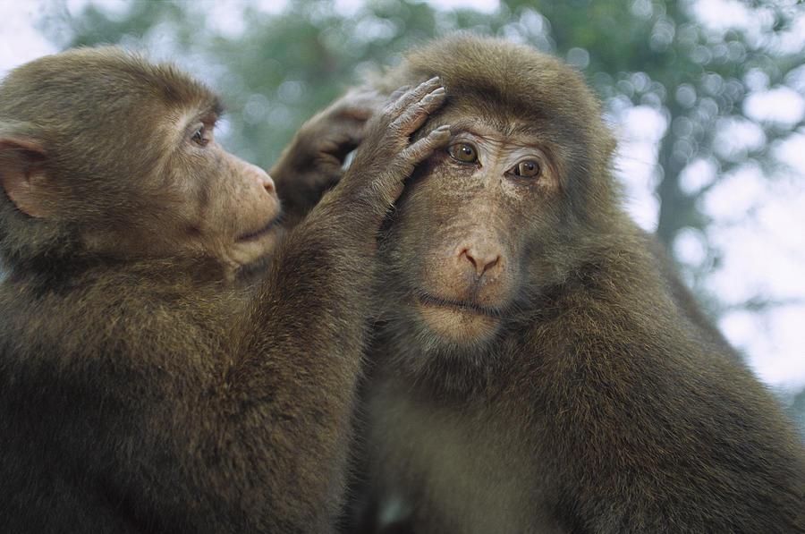 Tibetan Macaques Grooming Photograph