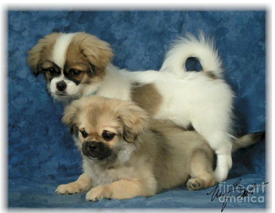 Tibetan Spaniel Pups 2  Digital Art
