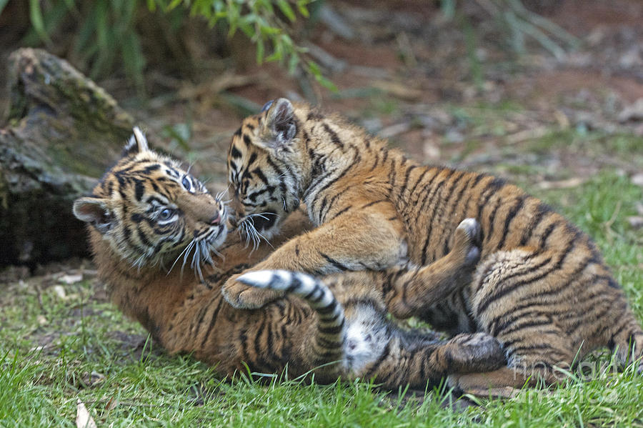Tiger Cubs Playing With Dog