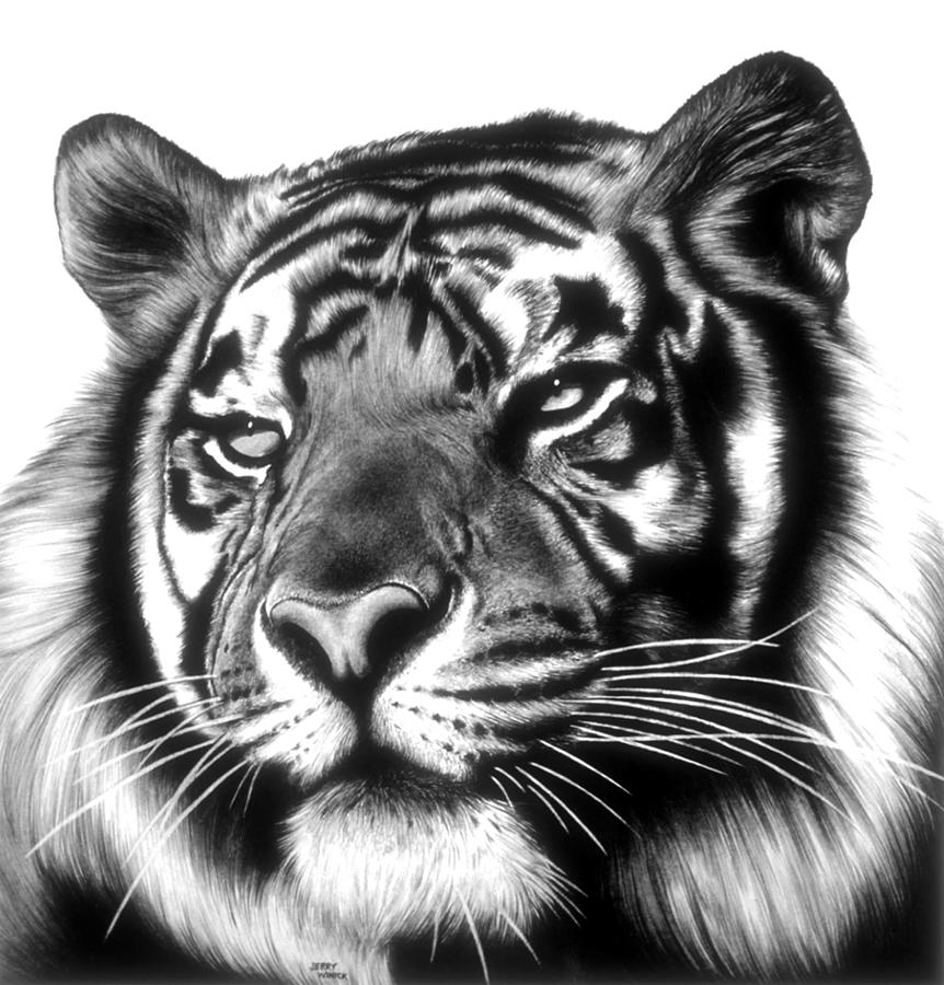 Tiger Face Drawing by Jerry Winick