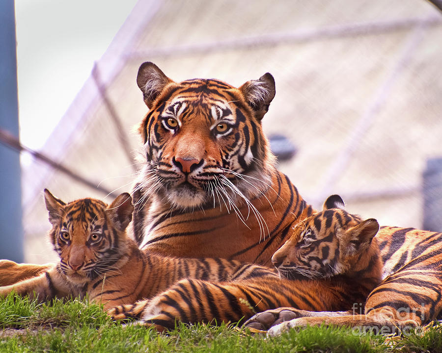 Tiger family drawing - photo#16