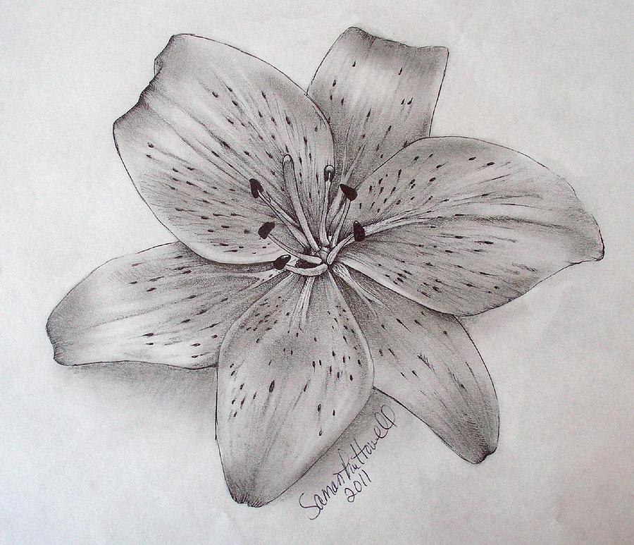 Tiger Lily DrawingLily Flower Drawings In Pencil
