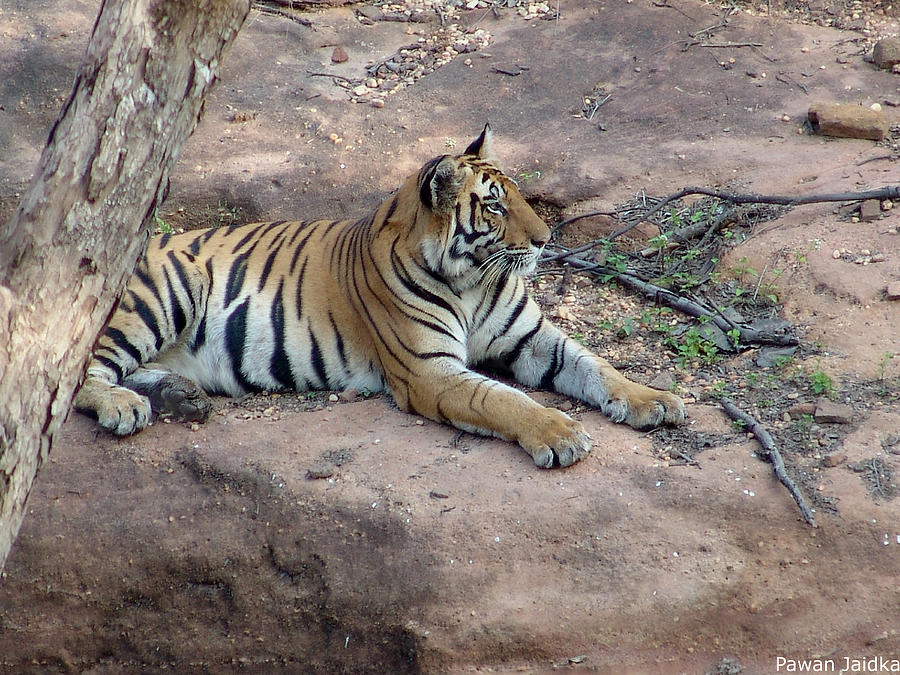 Tiger Photograph - Tiger  On His Throne by Pawan Jaidka