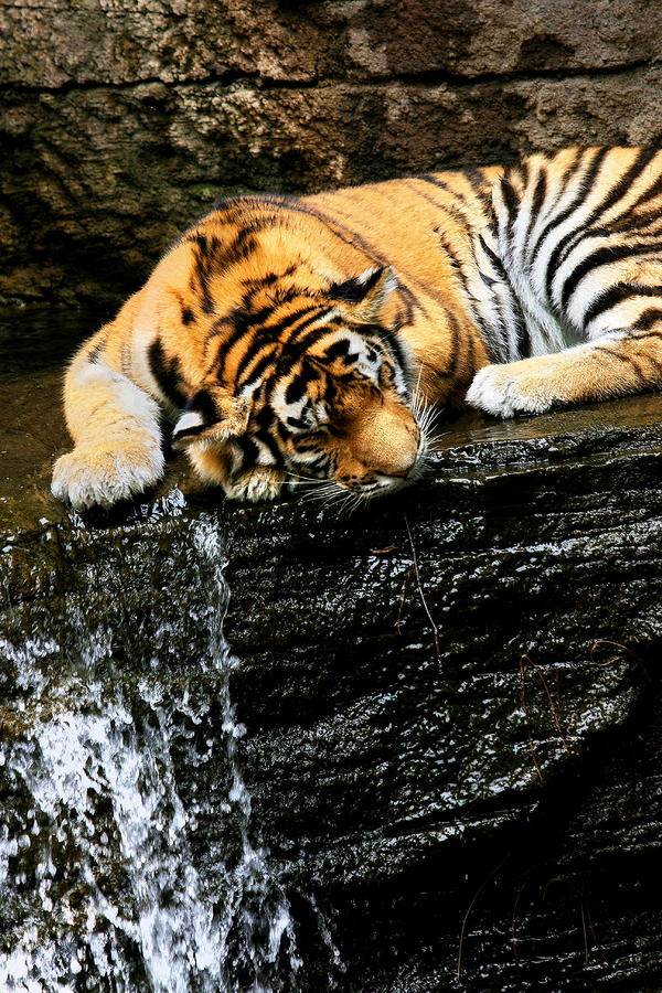 Tiger Paw is a photograph by Angela Rath which was uploaded on August ...