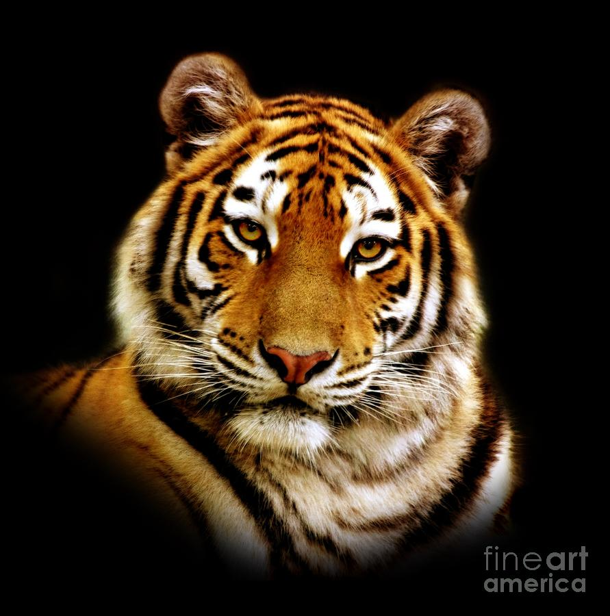 Tiger Photograph  - Tiger Fine Art Print