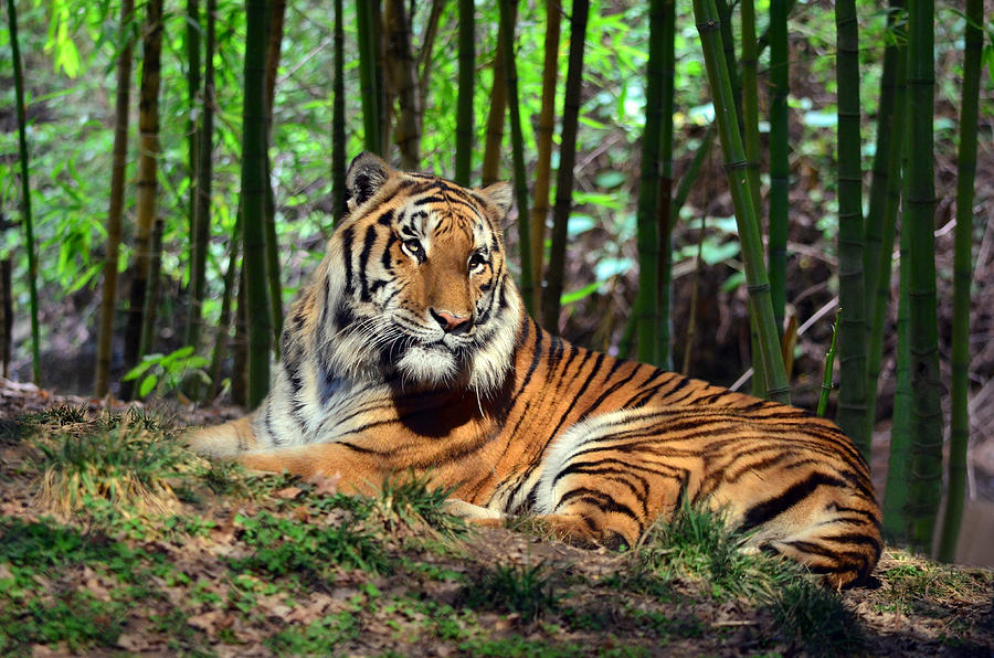 Tiger Rest And Bamboo Photograph