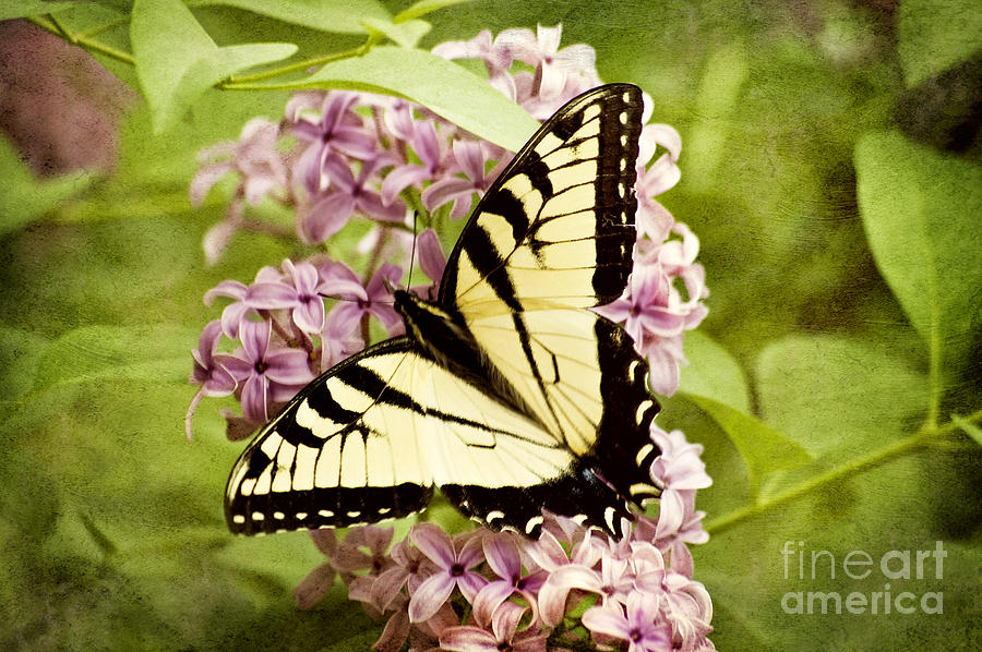 Tiger Swallowtail Butterfly Photograph  - Tiger Swallowtail Butterfly Fine Art Print