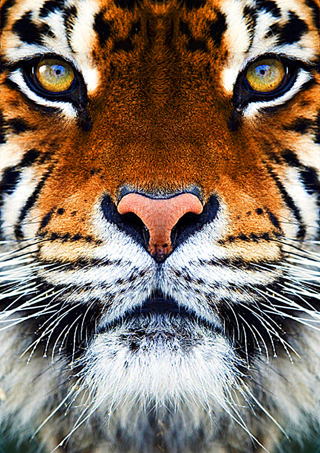 Tigers Face Photograph