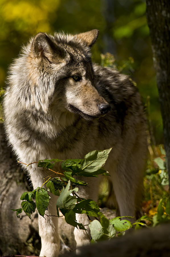 Timber Wolf Photograph  - Timber Wolf Fine Art Print