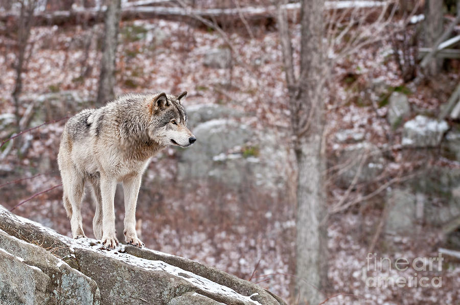 Timber Wolf On Rocks Photograph