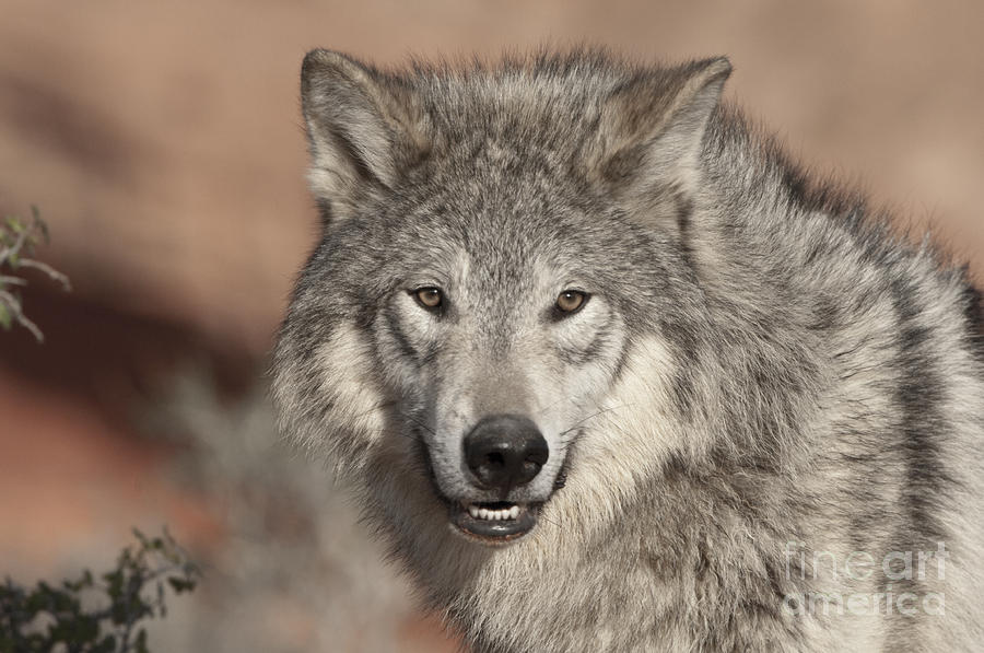 Timber Wolf Portrait Photograph