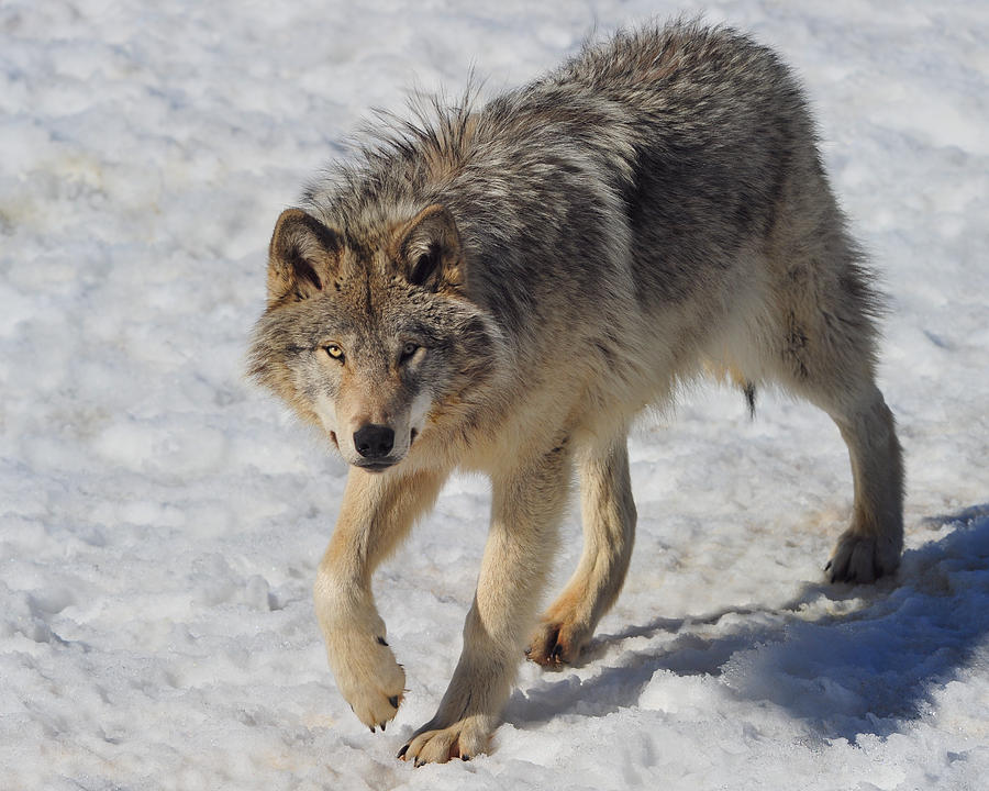 Timber Wolf Prowling Photograph By Tony Beck