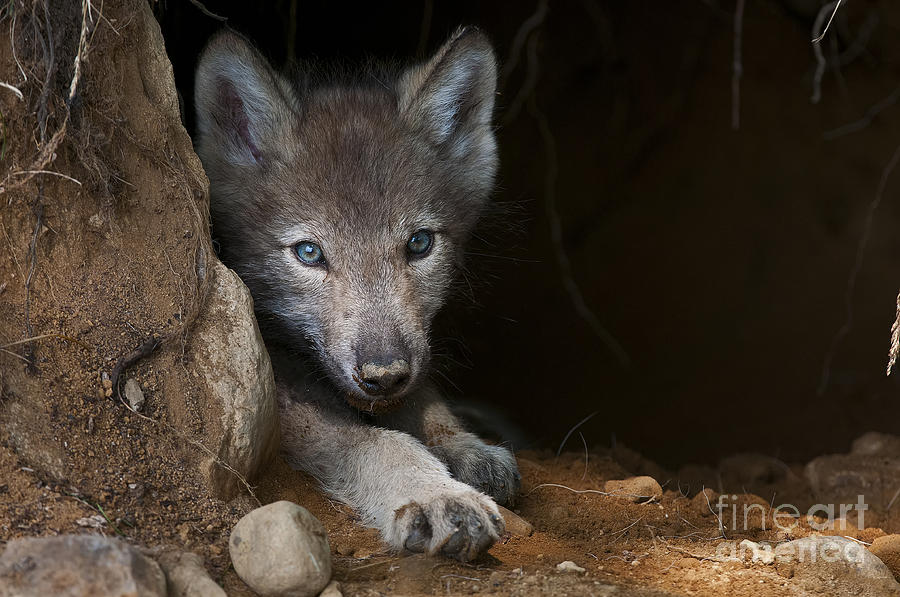 Timber Wolf Pup In Den Photograph