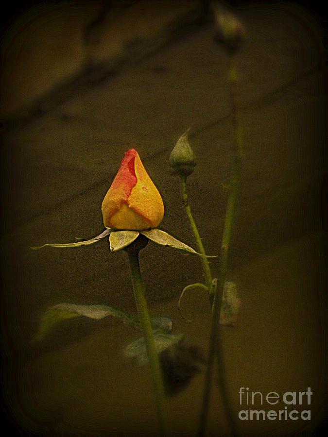 Old Pyrography - Timeless Rose by Carol  Hynes