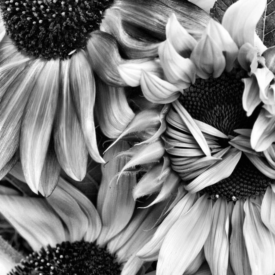 Sunflowers photograph timid sunflower in square black and white by