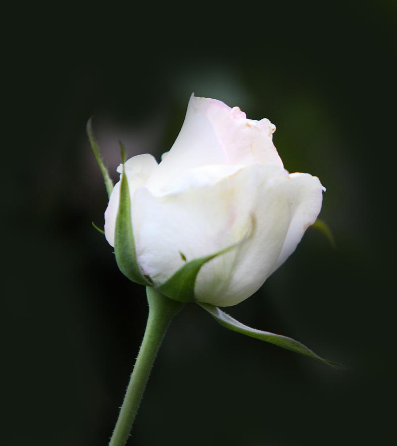 Tinted White Rose Bud Photograph