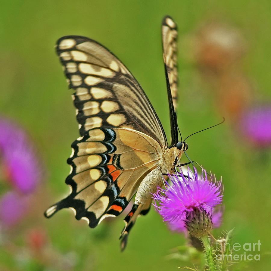 Titan On Wings... Photograph  - Titan On Wings... Fine Art Print