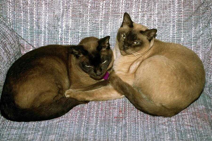 Tonkinese kittens for sale picture galleries can be viewed at the rescues.