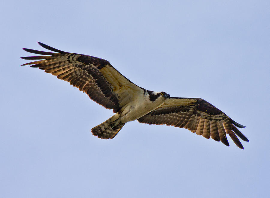 Topsail Photograph - Topsail Osprey by Betsy C Knapp