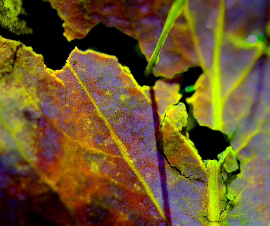 Torn Leaf Photograph  - Torn Leaf Fine Art Print