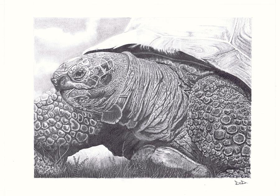 Tortoise Drawing
