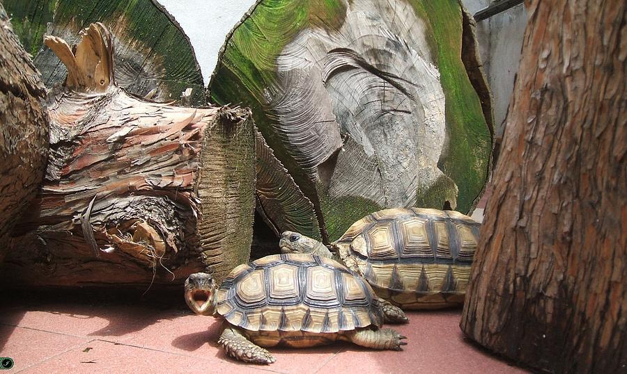 Tortoise Turtle Brown Look Eyes Black Strike A Pose Geochelone Chilensis Chelonoide Argentine Tortoise Tortoise Yawn Trunks Green  Photograph - Tortoise Yawn by Arte Ivanna