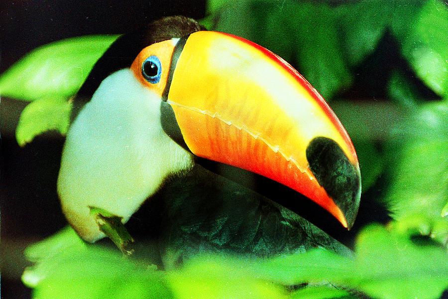 Toucan Photograph