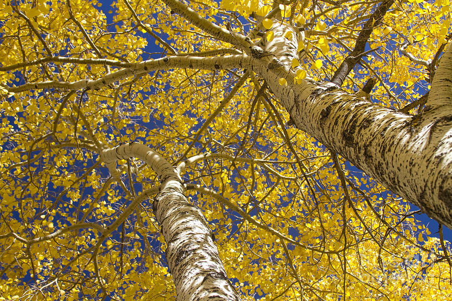 Towering Autumn Aspens With Deep Blue Sky Photograph  - Towering Autumn Aspens With Deep Blue Sky Fine Art Print