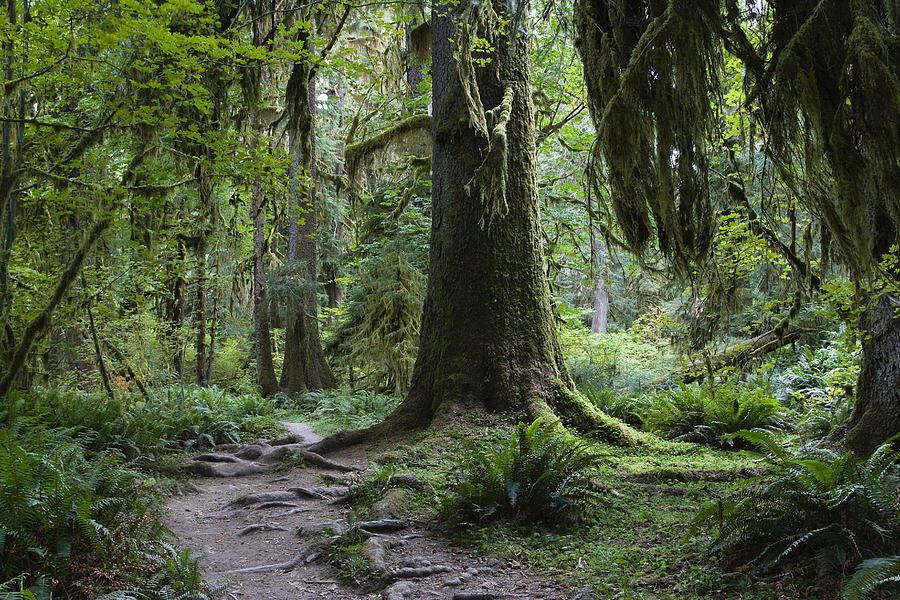 Trail In Forest, Hoh Rainforest by Konrad Wothe