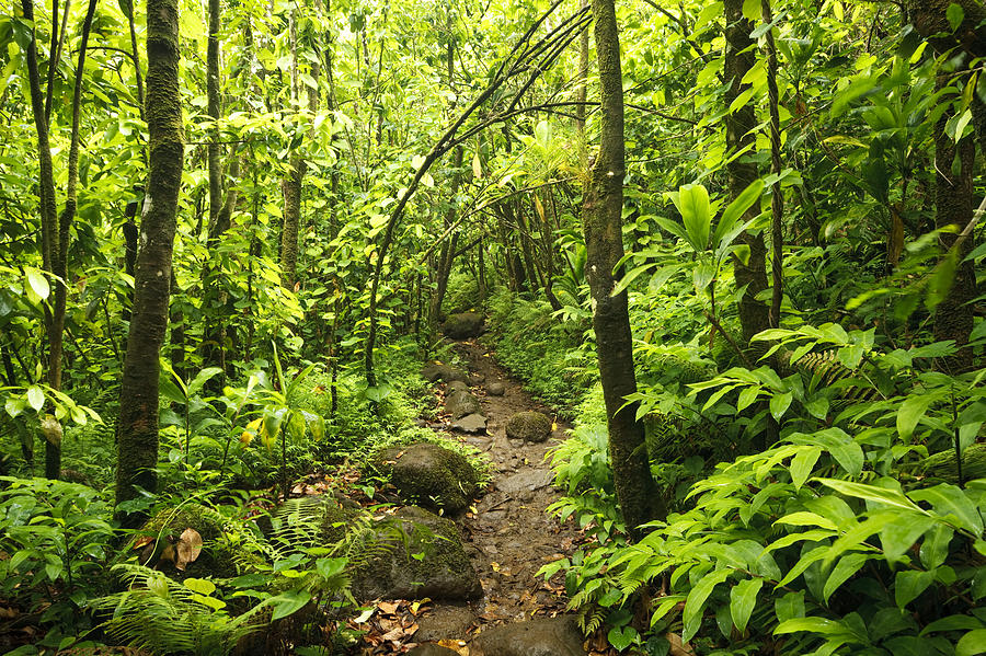 Trail Through Forest - Kauai Photograph