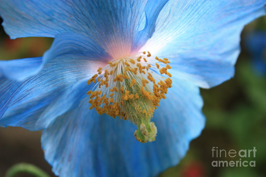 Translucent Blue Poppy Photograph