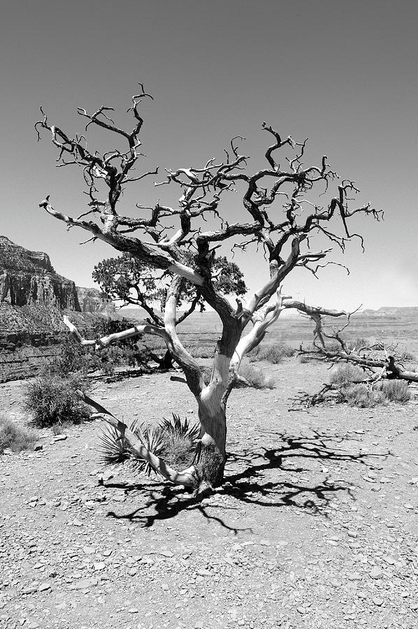 Tree At Cedar Ridge Bw Photograph