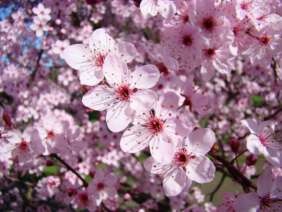 Tree blossoms pink spring flowering trees baslee troutman for Tree with red flowers
