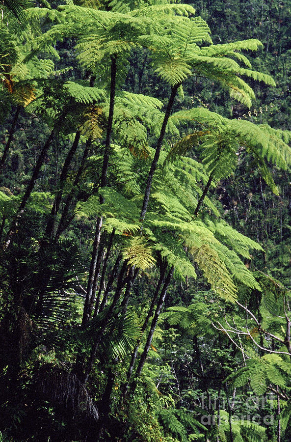 Tree Ferns El Yunque Photograph  - Tree Ferns El Yunque Fine Art Print