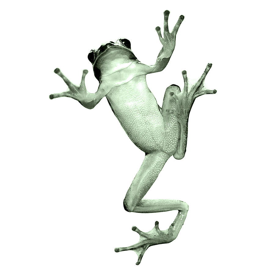 Tree Frog Against White Background Photograph  - Tree Frog Against White Background Fine Art Print