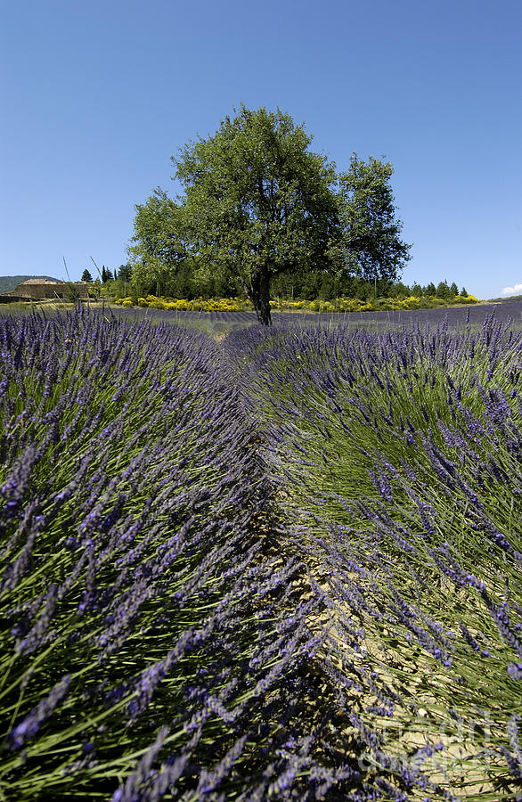 Tree In A Field Of Lavender. Provence Photograph  - Tree In A Field Of Lavender. Provence Fine Art Print