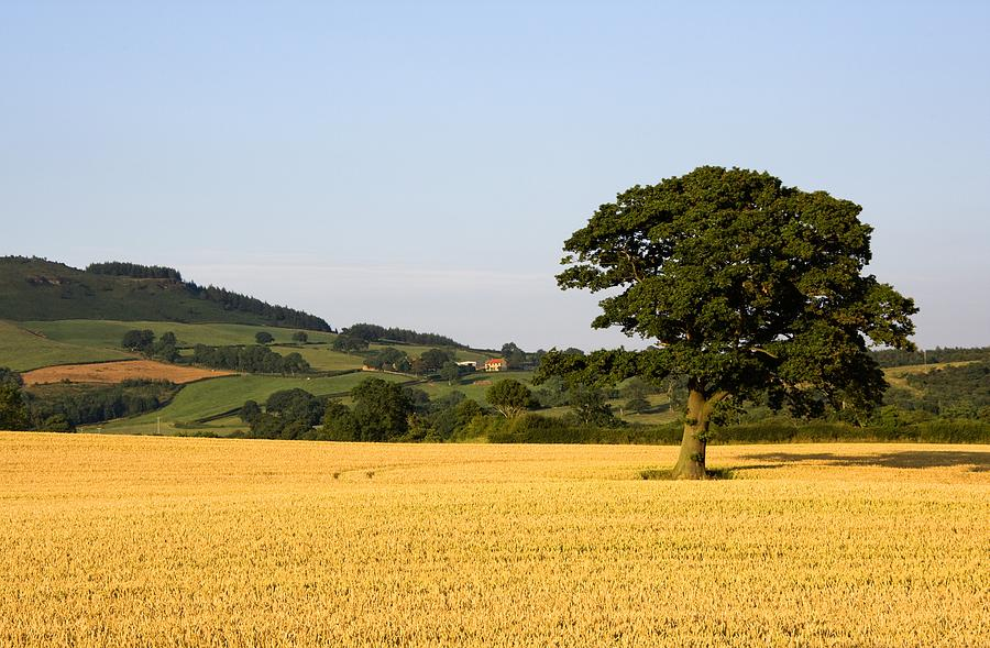 Tree In A Golden Field Of Grain, North Photograph