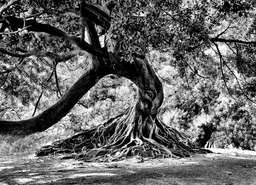 Tree Of Life - Bw Photograph  - Tree Of Life - Bw Fine Art Print