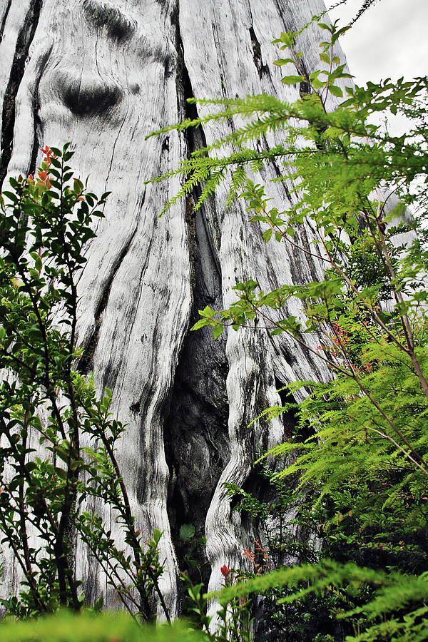 Tree Of Life - Duncan Memorial Big Western Red Cedar Photograph  - Tree Of Life - Duncan Memorial Big Western Red Cedar Fine Art Print