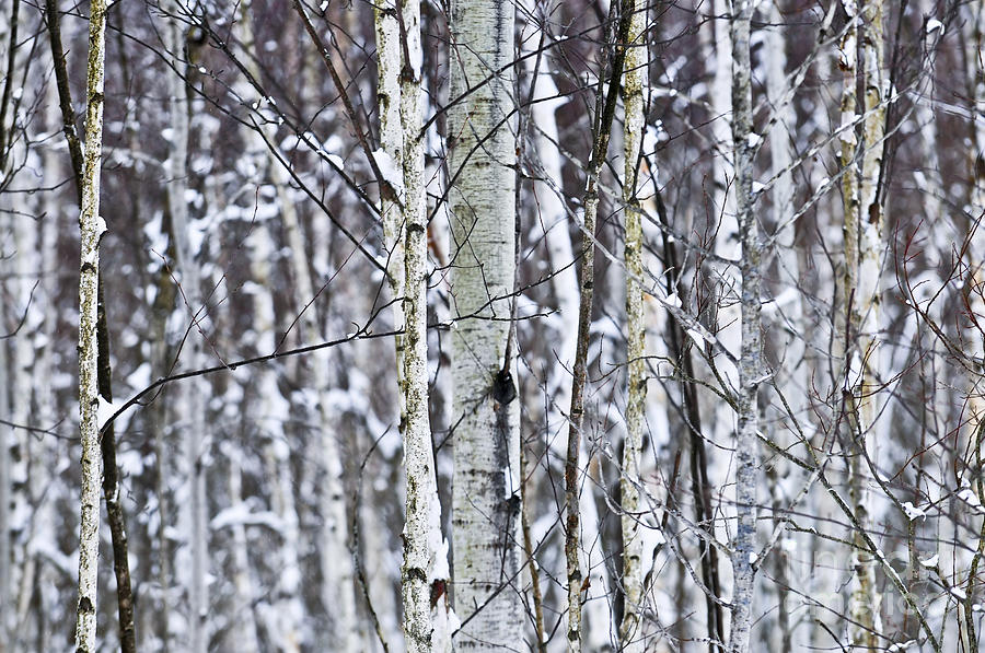 Tree Trunks Covered With Snow In Winter Photograph  - Tree Trunks Covered With Snow In Winter Fine Art Print