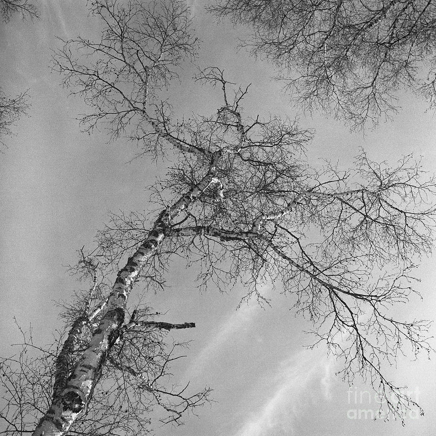 Trees Against Winter Photograph  - Trees Against Winter Fine Art Print