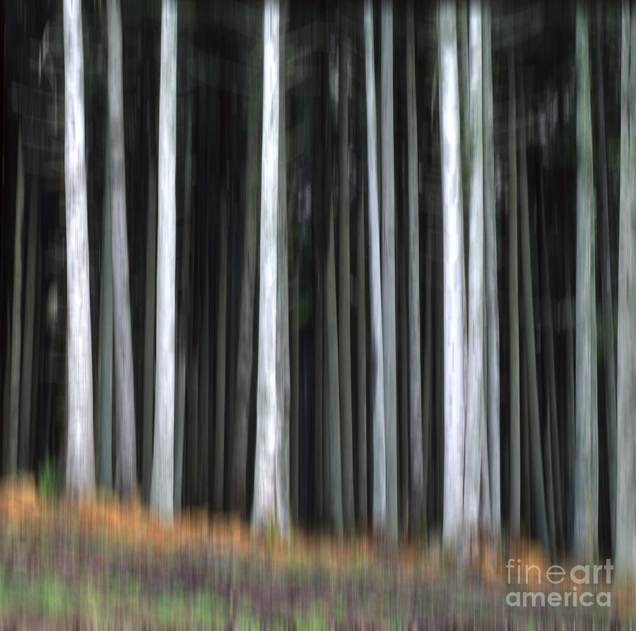 Trees Trunks Photograph  - Trees Trunks Fine Art Print
