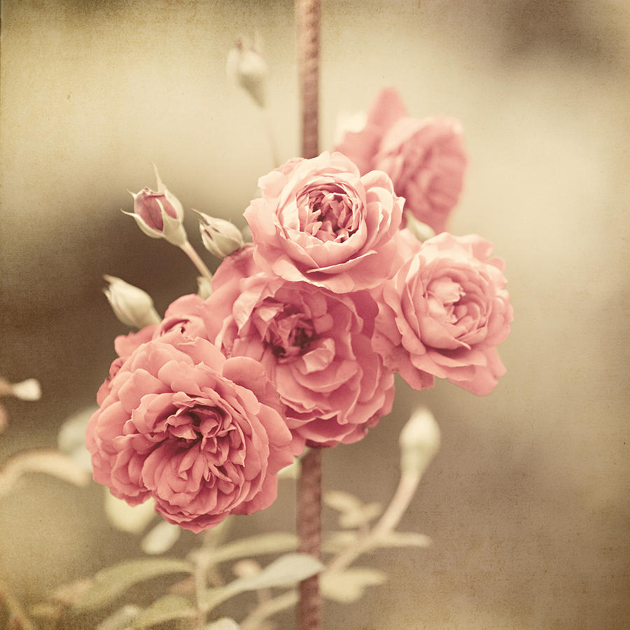 Trellis Roses Photograph